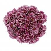 Mazzo 16 Crisantemina bianco/fucsia