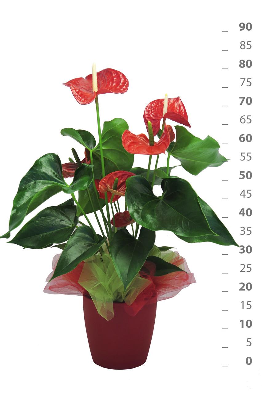 Anthurium Cura Della Pianta pianta di anthurium in vaso di ceramica - piante - piùfiori